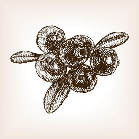 cranberry illustration: Cranberry berry fruit sketch style illustration. Old engraving imitation. Cranberry berry fruit  sketch imitation Illustration