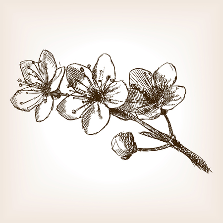 Cherry blossom schizzo stile illustrazione. Vecchia incisione imitazione. Cherry blossom disegnata a mano imitazione abbozzo