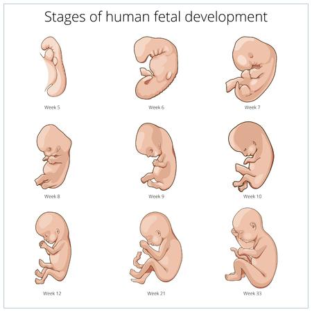 Fasi di sviluppo fetale illustrazione schematica di vettore umano. La scienza medica illustrazione educativa Vettoriali