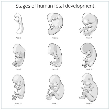 fetal development: Stages of human fetal development  schematic vector illustration. Medical science educational illustration