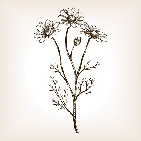 chamomilla: Pharmacy daisy sketch style illustration. Old engraving imitation. Matricaria chamomilla plant  sketch imitation