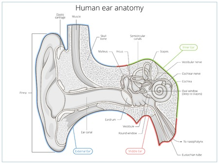 incus: Human ear structure medical educational science vector illustration. Ear anatomy Illustration