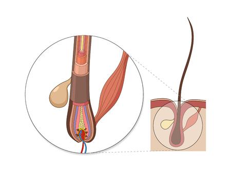 髪の構造医学教育ベクトル イラスト。毛の解剖学