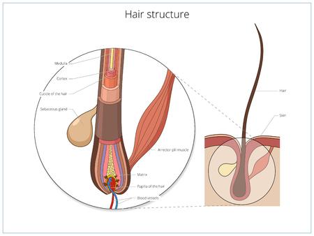 struktur: Hårets struktur medicinsk utbildningsvetenskap vektorillustration. hår anatomi