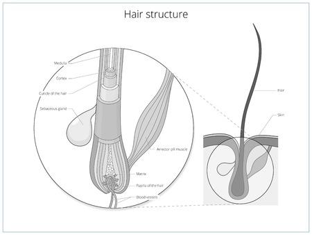 Hair structure medical educational science vector illustration. Hair anatomy