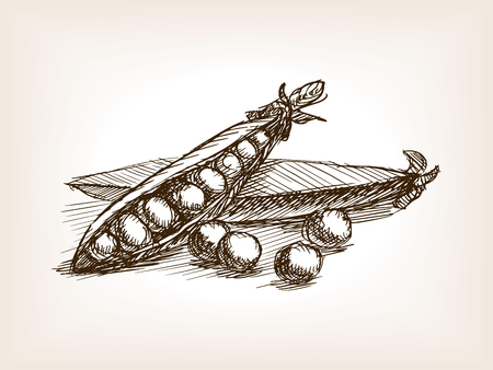 rough draft: Peas sketch style vector illustration. Old engraving imitation. Peas hand drawn sketch imitation Illustration