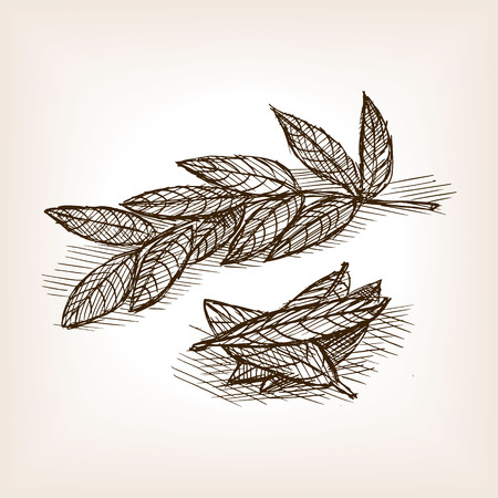 bay: Bay leaves sketch style vector illustration. Old engraving imitation. Bay leaves hand drawn sketch imitation