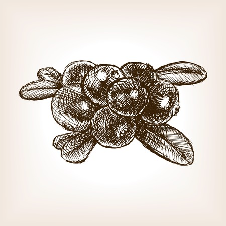 cranberry illustration: Cranberry berry fruit sketch style vector illustration. Old engraving imitation.