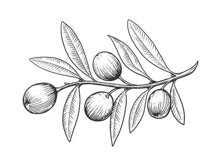 leaf line: Olive branch engraving style vector illustration. Scratch board style imitation