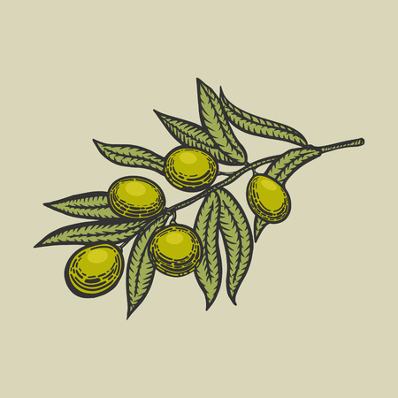 scratch board: Olive branch engraving style illustration. Scratch board style imitation
