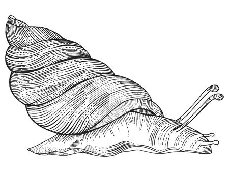 monochromic: Snail engraving style vector illustration