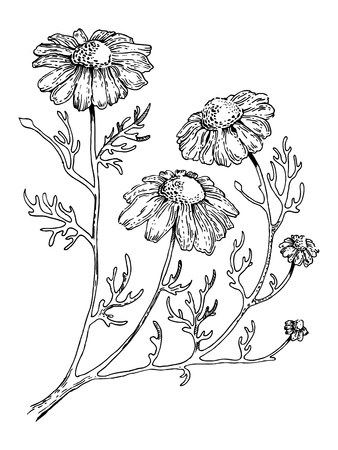 Officinalis medical plant engraving style vector Ilustração