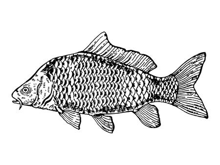 Carp fish engraving vector illustration. Scratch board style imitation. Hand drawn image. 向量圖像