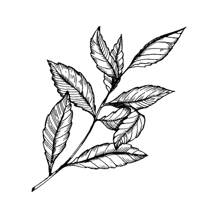 Branch of tea plant vector illustration. Scratch board style imitation. Hand drawn image.