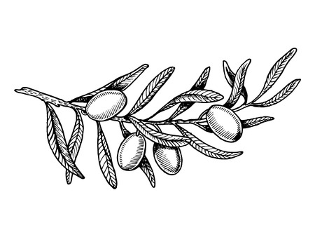 Olive branch engraving style vector illustration
