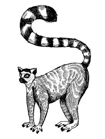 반지 꼬리가 달린 된 여우 원숭이 조각 벡터 일러스트 레이 션. 스크래치 보드 스타일 모방. 손으로 그린 된 이미지입니다.