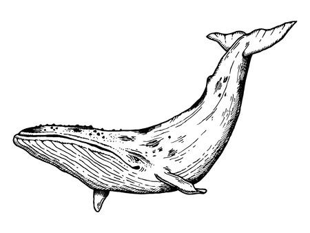 Walvis water dieren gravering vector illustratie. Scratchboard stijl imitatie. Hand getekend beeld. Stock Illustratie