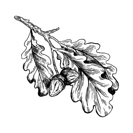 Oak branch with acorns engraving vector