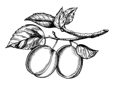 Plum fruit on tree branch engraving vector illustration. Scratch board style imitation. Hand drawn image.