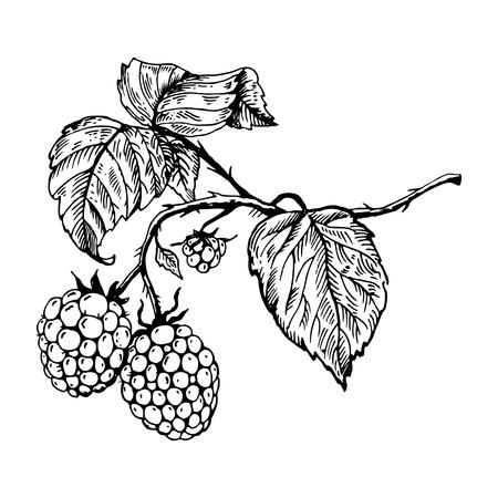 Raspberry engraving vector illustration