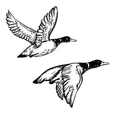 Flying ducks engraving vector illustration
