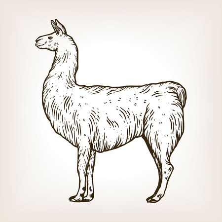 Llama animal engraving vector illustration. 向量圖像