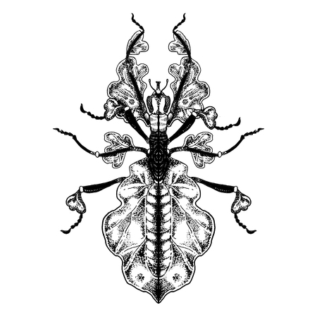 Bug Phasmatodea engraving vector illustration. Insect animal. Isolated image on white background. Scratch board style imitation. Hand drawn image. Stock Illustratie