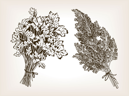 Herbs parsley and dill engraving vector illustration. Seasoning. Brown aged background. Scratch board style imitation. Hand drawn image.