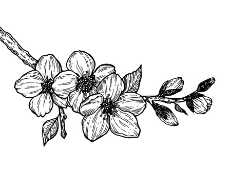 Cherry blossom branch engraving vector Foto de archivo - 97736869