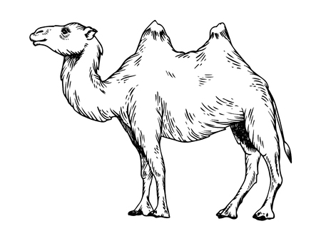 Hand drawn image of a camel engraved on silhouette black and white illustration.
