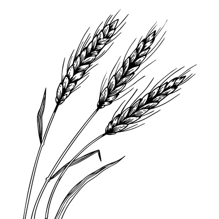 Wheat ear spikelet engraving vector