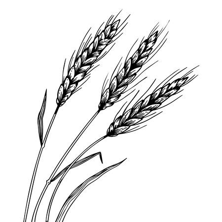 Weizen Ohr Ährchen Gravur Vektor Vektorgrafik
