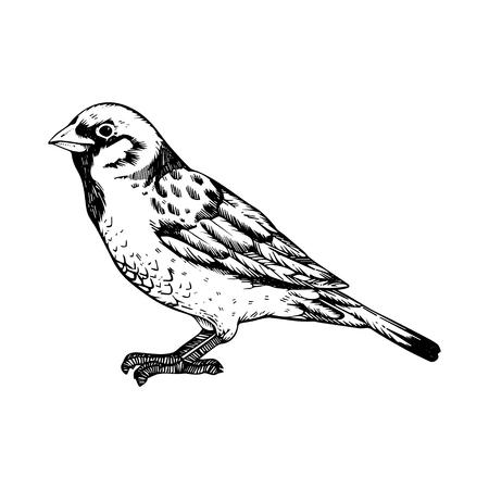 Gorrión pájaro grabado ilustración vectorial. Imitación de estilo scratch board. Imagen dibujada a mano en blanco y negro. Ilustración de vector