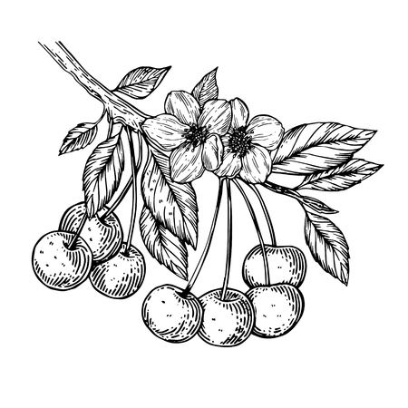 Cherry branch engraving vector illustration Stock Illustratie