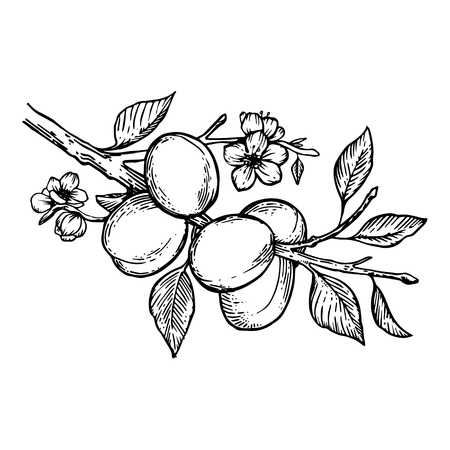Apricot branch with flowers and fruits plant engraving vector illustration. Scratch board style imitation. Black and white hand drawn image. Ilustração