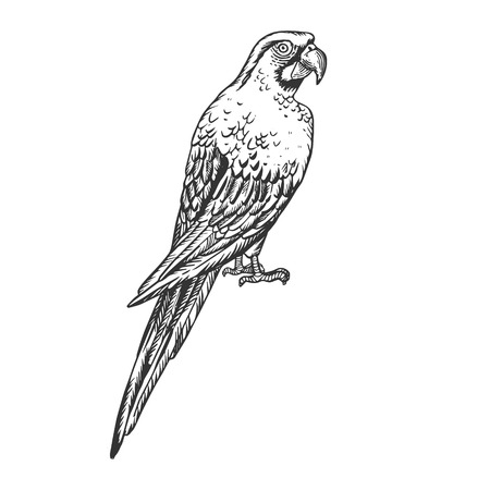Parrot Cockatoo Macaw bird engraving vector illustration. Scratch board style imitation. Black and white hand drawn image.