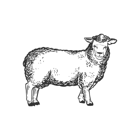 Sheep farm animal engraving vector illustration. Scratch board style imitation. Black and white hand drawn image.