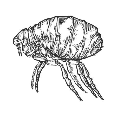 Flea insect parasite engraving vector illustration
