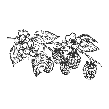 Raspberries branch engraving vector illustration