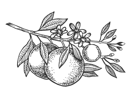 Orange tree branch engraving vector illustration Vettoriali