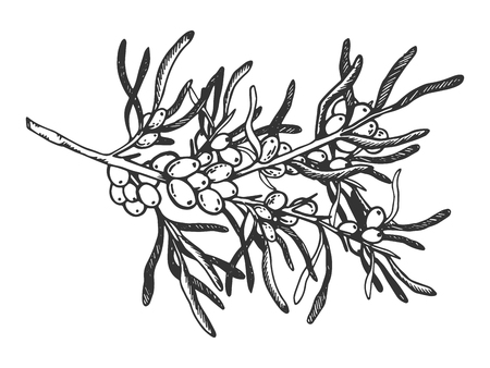Sea buckthorn branch engraving vector illustration