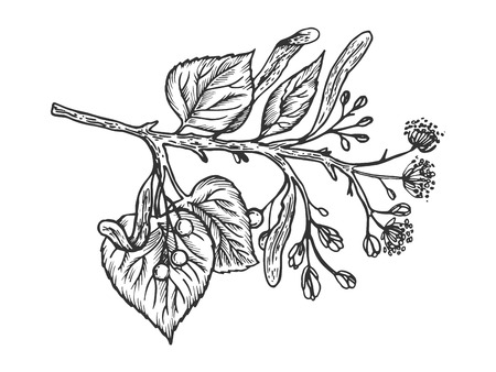 Linden branch engraving vector illustration. Scratch board style imitation. Hand drawn image. Ilustracja
