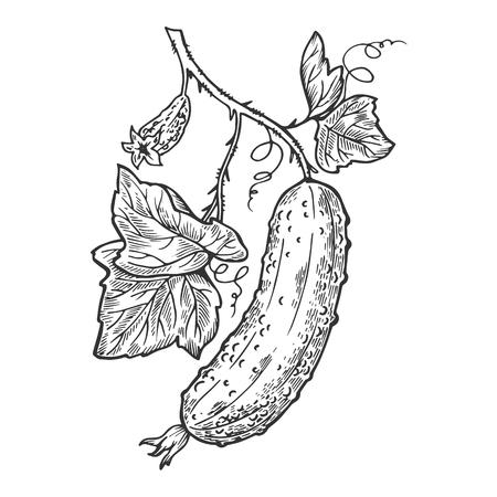 Gurkenpflanze Zweig Gravur Vektor-Illustration. Nachahmung im Scratchboard-Stil. Handgezeichnetes Bild. Vektorgrafik