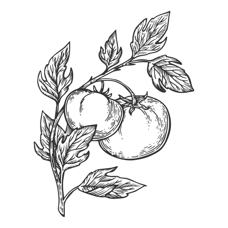 Illustrazione di vettore dell'incisione del ramo della pianta di pomodoro. Imitazione di stile scratch board. Immagine disegnata a mano. Vettoriali