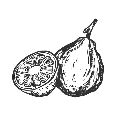 Bergamot orange fruit engraving vector illustration. Scratch board style imitation. Black and white hand drawn image. Foto de archivo - 107931822