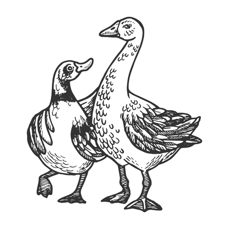 Duck and goose friends engraving vector illustration. Scratch board style imitation. Black and white hand drawn image.