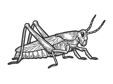 Heuschrecke Heuschrecke Insekt Gravur Vektor-Illustration. Nachahmung im Scratchboard-Stil. Handgezeichnetes Schwarz-Weiß-Bild.