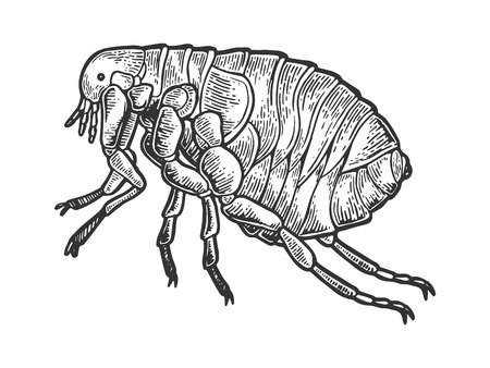Flea louse insect engraving vector illustration. Scratch board style imitation. Black and white hand drawn image.