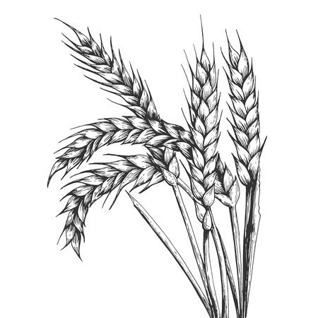 Espiguilla de espiga de trigo grabado ilustración vectorial. Imitación de tablero de rascar. Imagen dibujada a mano en blanco y negro.