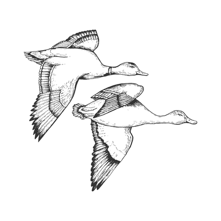 Wild flying duck birds engraving vector illustration. Scratch board style imitation. Hand drawn image. Archivio Fotografico - 116679365